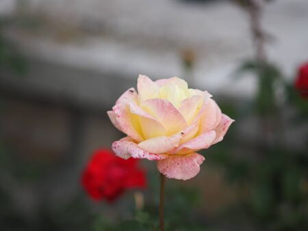rose flower two color pink and yellow arrangement Beautiful bouquet on blurred of nature background symbol love Valentine's Day 版權商用圖片