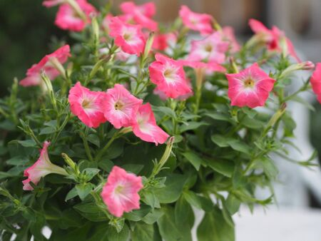 pink passion wave Petunia Hybrida, Solanaceae, name flower bouquet beautiful on blurred of nature background Flowers are single flowers shape is a cone, long neck flower, petals and secondary petals. The flower has 5 lobes