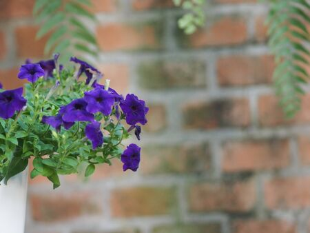 purple wave blue color Petunia Hybrida, Solanaceae, name flower bouquet beautiful on blurred of nature background Flowers are single flowers shape is a cone, long neck flower, petals and secondary petals. The flower has 5 lobes