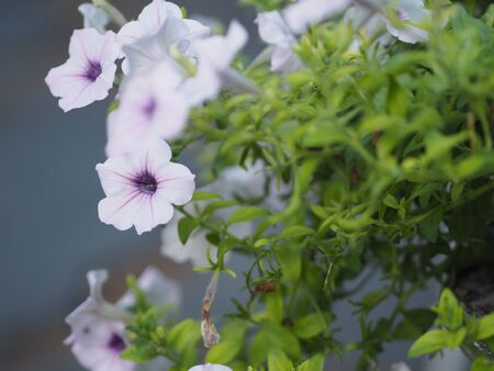 white wave silver color Petunia Hybrida, Solanaceae, name flower bouquet beautiful on blurred of nature background Flowers are single flowers shape is a cone, long neck flower, petals and secondary petals. The flower has 5 lobes