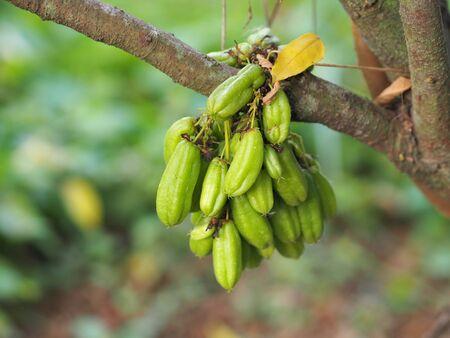 Averrhoa bilimbi, Oxalidaceae, Bilimbi, Bilimbing, Cucumber Tree green fruit