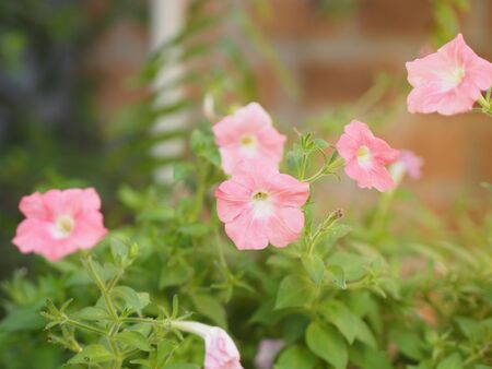 Wave pink color Petunia Hybrida, Solanaceae, name flower bouquet beautiful on blurred of nature background Standard-Bild