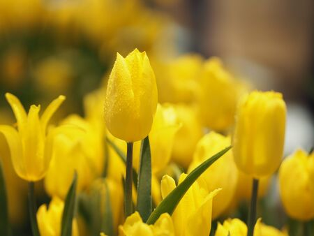 Yellow tulip flower booming beautiful in nature blurred of background
