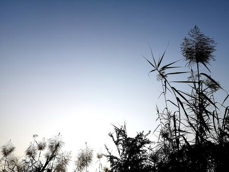 The grass Black silhouette on blue sky in the morning