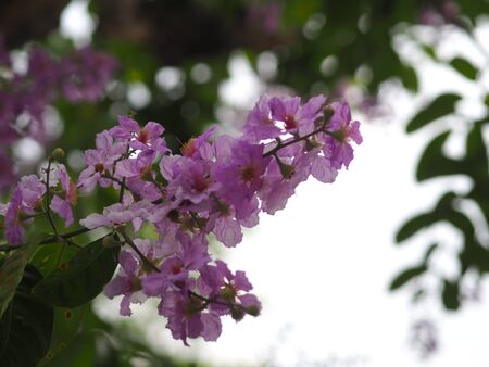 Pink Trumpet shrub Tree, Pink Tecoma name flower bouquet beautiful blurred on nature
