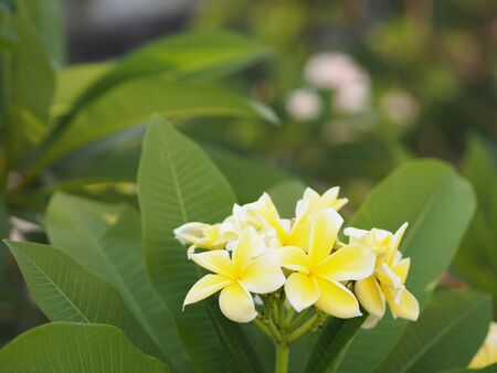 Frangipani, Plumeria, Temple, Graveyard Tree yellow flower on blurred of nature background Reklamní fotografie