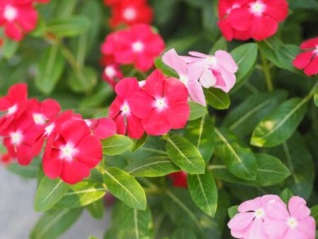 Common name West Indian periwinkle, Madagascar periwinkle, Bringht eye, Indian periwinkle, Cape periwinkle, Pinkle-pinkle, Pink periwinkle, Vinca, Cayenne jasmine, Rose periwinkle, Old maid Scientific name Catharanthus roseus flower have pink and red color Фото со стока - 139749201