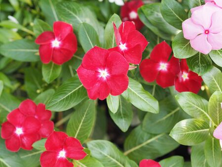 Common name West Indian periwinkle, Madagascar periwinkle, Bringht eye, Indian periwinkle, Cape periwinkle, Pinkle-pinkle, Pink periwinkle, Vinca, Cayenne jasmine, Rose periwinkle, Old maid Scientific name Catharanthus roseus flower have pink and red color