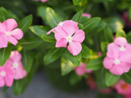 Common name West Indian periwinkle, Madagascar periwinkle, Bringht eye, Indian periwinkle, Cape periwinkle, Pinkle-pinkle, Pink periwinkle, Vinca, Cayenne jasmine, Rose periwinkle, Old maid Scientific name Catharanthus roseus flower have pink color Фото со стока - 139749226