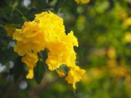 Yellow elder, Trumpetbush, Trumpet Flower, trumpet flower name Scientific name Tecoma stans blooming in garden on blurred of nature background Reklamní fotografie