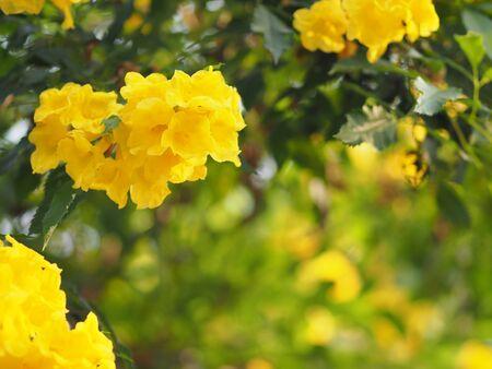 Yellow elder, Trumpetbush, Trumpetflower, trumpet flower name Scientific name Tecoma stans blooming in garden on blurred of nature background