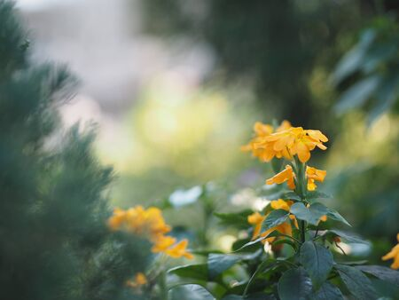 Firecracker flower, Crossandra infundibuliformis, orange color flowers blooming in garden on blurred of nature background