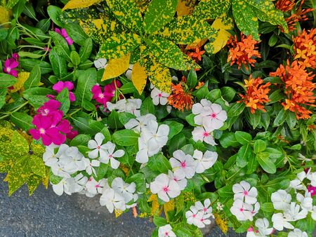 West Indian periwinkle, Bringht eye, Vinca, Cayenne jasmine, Old maid name pink, white, purple color flower in garden