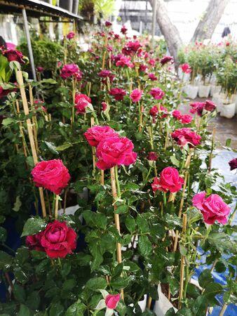 red color rose flower in garden nature background Reklamní fotografie