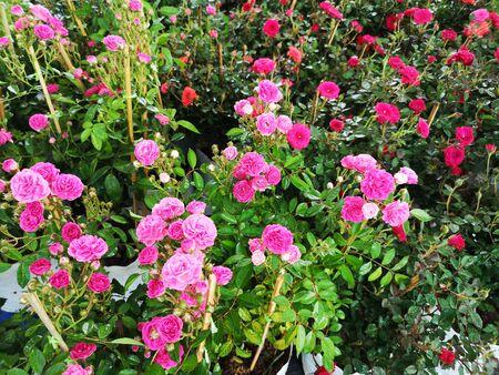 pink and red color rose flower in garden nature background Reklamní fotografie