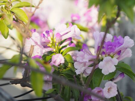 Garlic Vine Plants growing woody climbing vine with beautiful flowers, violet color nature background Reklamní fotografie
