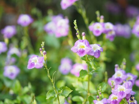 Creeping foxglove, Acanthaceae, creeping foxglove name purple flower spreading, herbaceous groundcover young plants in tropical garden nature background Reklamní fotografie
