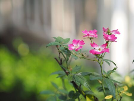 Pink color rose flower blooming in garden nature background
