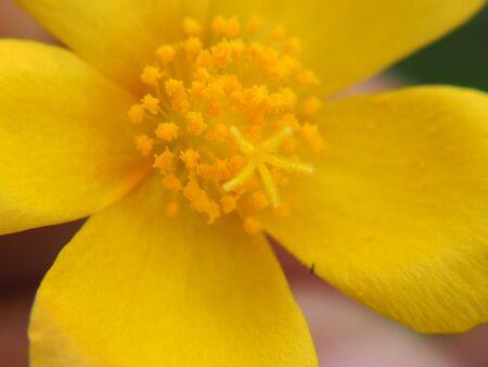 Closeup pollen of  yellow flower, macro photo