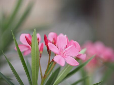 Sweet Oleander, Rose Bay, Nerium oleander name pink flower tree in garden on blurred of nature background, leaves are single oval shape, The tip and the base of the pointed smooth not thick hard with dark green