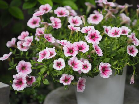 Petunia Easy wave viloet pink color  flower beautiful on blurred of nature background