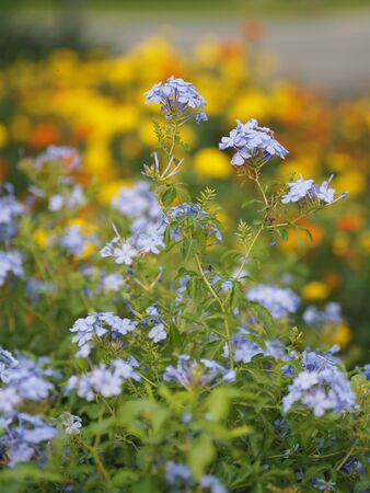 cape leadwort, white plumbago, Sky Flower, bunch of indigo flowers, blue color in garden on blurred of nature background Scientific name Plumbago auriculata Lam, Family name Plumbaginaceae
