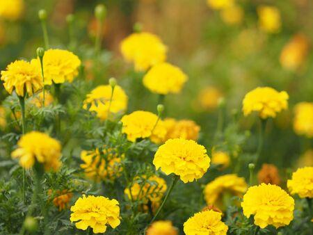 African marigold, American, Aztec, Big marigold Scientific name Tagetes erecta yellow flower blooming in garden Stock Photo