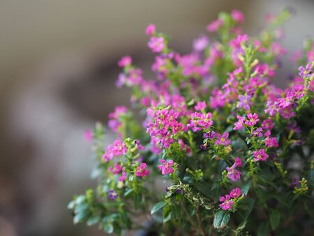 False heather, Elfin herb, Scientific name Cuphea hyssopifola, Pink purple color little flower beautiful in garden blurred of nature background, Ground cover, trunk branched into bushes