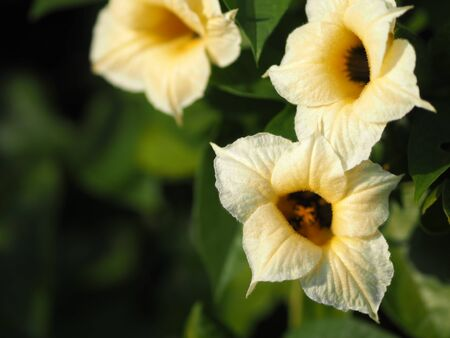 Momorodica cochinchinensis yellow flower blooming in garden on blurred of nature background