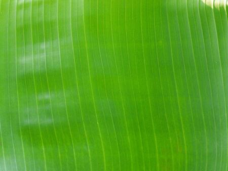Banana fresh leaf abstract pattern line green nature background