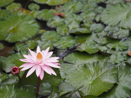 Pink Water lily Plantae, Sacred Lotus, Bean of India, Nelumbo, NELUMBONACEAE name flower in pond Large flowers oval buds Pink tapered end center of the petals are bloated green large leaves stalk Rod lengthy environment nature background