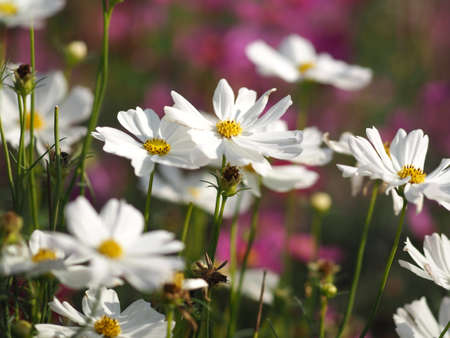 Cosmos flower white color springtime in garden on blurred of nature background