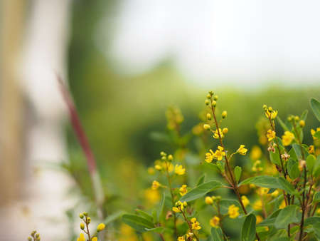 Small yellow flower blooming in garden blurred of nature background