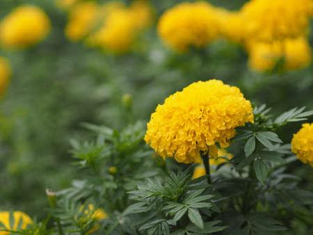 yellow flower African marigold, American, Aztec, Big marigold Scientific name Tagetes erecta blooming in garden nature background
