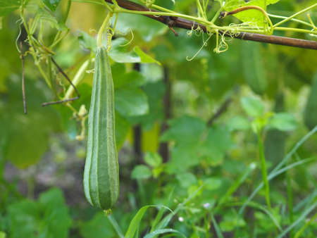 luffa acutangular, Cucurbitaceae green vegetable fresh in garden on nature background