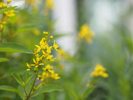 Little Yellow flower Thryallis glauca, Galphimia, Gold Shower medium shrub Dark yellow flowers inflorescence will be released at end of the branch blooming in garden on blurred nature background