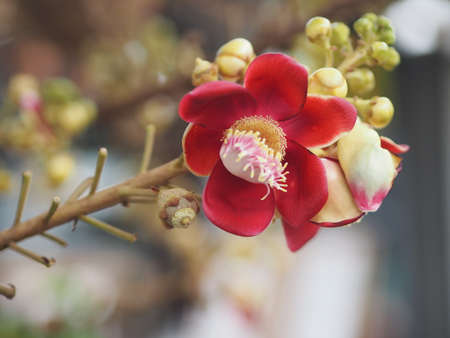 Shorea robusta, Dipterocarpaceae, Couroupita guianensis Aubl., Sal blooming in garden on blurred nature background