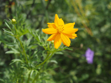 Mexican Aster, Compositae , Cosmos bipinnatus Yellow flower blooming in garden on nature baclground 版權商用圖片
