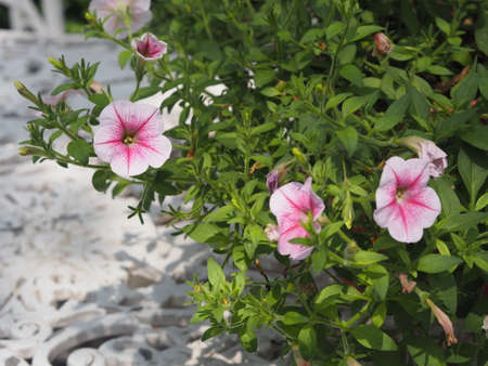 Wave pink color Petunia Hybrida, Solanaceae, name flower bouquet beautiful on blurred of nature background 版權商用圖片