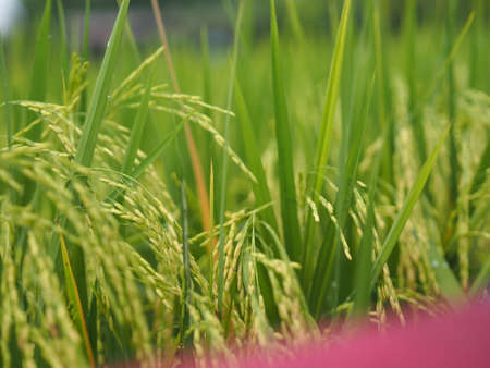 Spike green paddy rice in the field plant, Jasmine rice on blurred of nature background