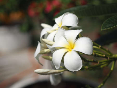 Plumeria mix color white and yellow colorfull flower blooming in garden on blur nature background Tropical nature, Frangipani, Temple, Graveyard Tree Apocynaceae