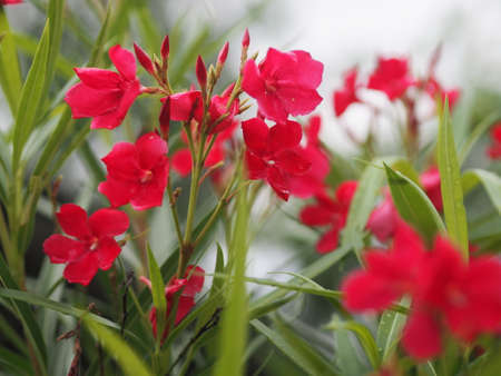 Sweet Oleander, Rose Bay, Nerium oleander name dark pink flower tree in garden on blurred of nature background, leaves are single oval shape, The tip and the base of the pointed smooth not thick hard with dark green 版權商用圖片