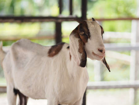 goat have white to brown fur standing in farm, mammal animal