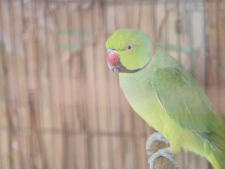 Green parrot standing on perch, bird animal Poultry