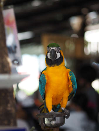 Colorful parrot standing perched on an iron stand on blurred background, bird animal Poultry