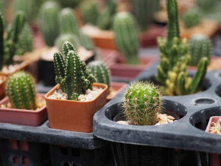 Cactus, Cactaceae, Pereskia, tree, green, trunk, sharp, spikes, around, nature, branch, macro, leaf, leaves, petal, closeup, bright, focus, plant, botany, background, growth, outdoor, blooming, tropical, landscape, bloom, garden, fresh, natural, blurred, spiked , stinging, growing, houseplant, botanic, light, spring, agave, foliage, spiny, collection, flora, botanical, spike, grow, thorn, succulent, desert, detail, background, bloom, garden; 版權商用圖片