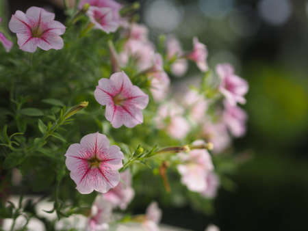 Wave pink Cascade color, Family name Solanaceae, Scientific name Petunia hybrid Vilm, Large petals single layer Grandiflora Singles flower in a plastic pot blooming in garden on blurred nature background hanging on the tree 版權商用圖片