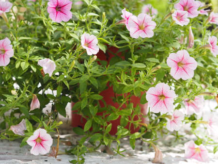 Wave pink Cascade color, Family name Solanaceae, Scientific name Petunia hybrid Vilm, Large petals single layer Grandiflora Singles flower in a plastic pot blooming in garden on blurred nature background 版權商用圖片