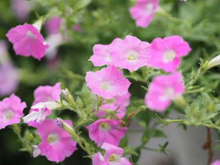 Petunia Easy wave color pink flower booming in garden beautiful on blurred of nature background