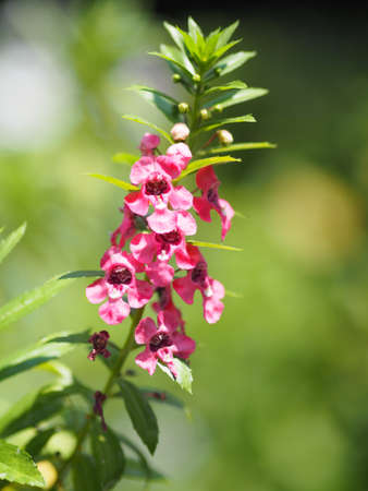 Forget me Not Angelonia goyazensis Benth, Digitalis solicariifolia name purple flower is a single flower, but sticking out together according to the beginning or the fork plating beautiful bouquet blooming in garden on nature background Reklamní fotografie
